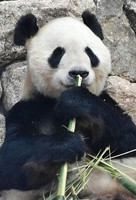 A giant panda is seen at Adventure World amusement park, which partly resumed operations after closing due to the novel coronavirus pandemic, in Shirahama, Wakayama Prefecture, on May 21, 2020. (Mainichi/Takao Kitamura)