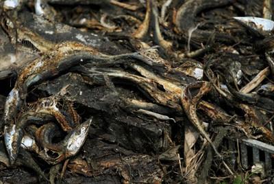 がれきの中に散乱し、腐敗臭を放つ魚介類=宮城県気仙沼市の階上地区で2011年6月6日、森田剛史撮影