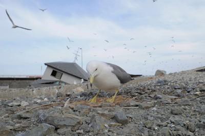 津波に流された家屋が残る中、繁殖期を迎えて巣の中で卵を大事そうに抱くウミネコ=岩手県山田町で2011年6月9日午後4時32分、木葉健二撮影