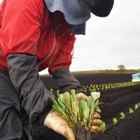 定植作業を行っている畑でキャベツの苗を見せる望月由香利さん=群馬県嬬恋村で2020年5月24日、手塚耕一郎撮影