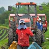 キャベツ農家の畑でアルバイトとして働く望月由香利さん。村内の観光ホテルで働いていたが、新型コロナウイルスの影響で休業状態となり、農家で秋まで働くことになった=群馬県嬬恋村で2020年5月24日、手塚耕一郎撮影