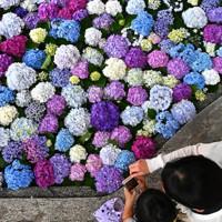 色とりどりのアジサイが浮かぶ花手水=福岡県太宰府市の太宰府天満宮で2020年6月17日、徳野仁子撮影