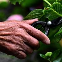 注意深く観察し枝切りして回る南澤さんの手元=東京都あきる野市で2020年6月22日、滝川大貴撮影