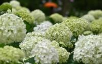 White hydrangea flowers are seen in bloom at the Kobe Municipal Arboretum in Kobe's Kita Ward, on June 28, 2020. (Mainichi/Naohiro Yamada)