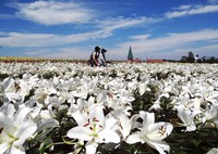 Lilies are seen in full bloom at the Country Farm Tokyo German Village in the eastern Japan city of Sodegaura, Chiba Prefecture, on July 2, 2020. (Mainichi/Shigeharu Asami)