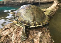 This undated photo provided by the Center for Biological Diversity shows a Pascagoula map turtle. The federal government says it will decide whether protection is needed for Pascagoula map turtles, found only in Mississippi, and Pearl River map turtles, found in Mississippi and Louisiana. (Grover Brown/Center for Biological Diversity via AP)
