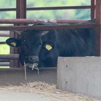 高濃度の放射性セシウムを含む稲わらを餌として与えていた畜産農家の肉牛=福島県浅川町で2011年7月15日午後3時58分、石井諭撮影