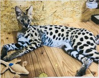 A pet serval, which was captured after 17 days on the loose, is seen in this photo provided by the Shizuoka Municipal Government.