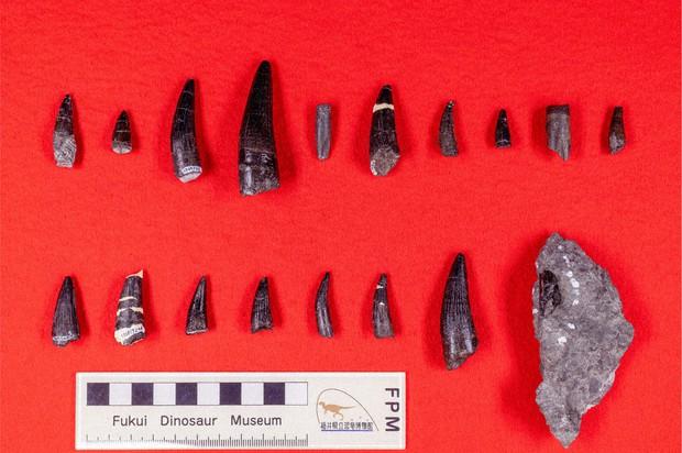 恐竜の歯の化石18点も 同所で多数発見、国内初 スピノサウルス科 ...