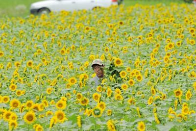 放射性物質に汚染された農地の除染実証実験で植えられたヒマワリを採取する県農業総合センターの職員ら=福島県飯舘村で2011年8月5日午前11時29分、木葉健二撮影