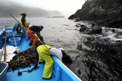 身を乗り出しメカブを取る漁師。中央奥は津波で壊れた防潮堤=岩手県釜石市で2011年8月4日午前5時20分、小出洋平撮影
