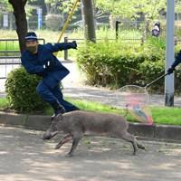 大濠公園の駐車場で逃げるイノシシを追う警察官=福岡市中央区で2020年8月5日午前9時46分、須賀川理撮影