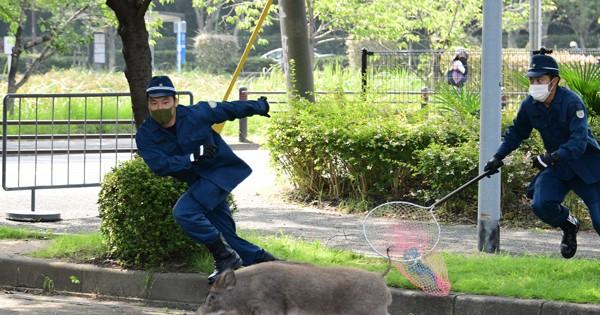福岡・大濠公園にイノシシ 警官ら大捕物、逃走後「御用」にアクセスランキング編集部のオススメ記事