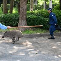 福岡市中心部に現れたイノシシを追う警察官=福岡市中央区の大濠公園近くで2020年8月5日午前9時46分、須賀川理撮影