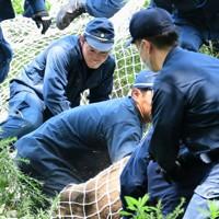 舞鶴公園内で捕獲されたイノシシ=福岡市中央区で2020年8月5日午前11時50分、須賀川理撮影