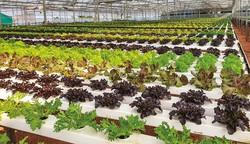 葉物野菜のビニールハウス シンプリ―フレッシュ提供