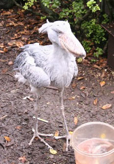 Bill the shoebill eats a bucketful of food at an event cerebrating the 35th anniversary of his arrival at Izu Shaboten Zoo in the city of Ito, Shizuoka Prefecture, in this photo taken on April 28, 2016. (Mainichi/Yoshihiro Yanagawa)