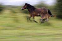 Wild horses gallop across a meadow at a wildlife sanctuary in Milovice, Czech Republic, on July 17, 2020. (AP Photo/Petr David Josek)