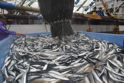 震災後、大船渡港に初水揚げされたサンマ=岩手県大船渡市で2011年8月22日午前10時58分、西本勝撮影