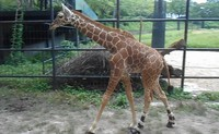 Hagumi, a reticulated giraffe, is seen with harnesses attached to her hind legs, at Asa Zoological Park in Hiroshima's Asakita Ward, in this provided photo.