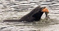 In this April 24, 2008 file photo, a sea lion eats a salmon in the Columbia River near Bonneville Dam in North Bonneville, Washington. (AP Photo/Don Ryan)