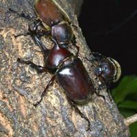 樹液にあつまるカブトムシ=兵庫県伊丹市昆虫館提供
