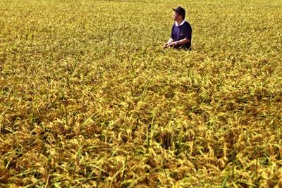 津波で塩害を受けた水田で実った稲。「まさか米作りできるとは3月には思わなかった」と農家の男性はつぶやいた=仙台市若林区で2011年9月9日、梅村直承撮影