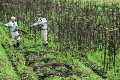 表土除染実験で植えられていたヒマワリの刈り取り作業=福島県飯舘村で2011年9月5日午前11時41分、須賀川理撮影