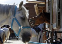 A horse neighs as he stands in a box at an equestrian club in Les Yvelines, French department west of Paris, on Aug. 28, 2020. (AP Photo/Michel Euler)