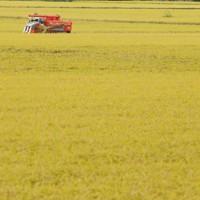 震災の津波で浸水した田んぼで、収穫される稲=宮城県岩沼市で2012年9月15日、小川昌宏撮影