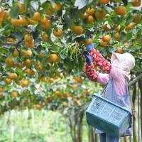 台風10号の接近に備えて梨の収穫を急ぐ女性=福岡県朝倉市で2020年9月4日午後0時7分、津村豊和撮影