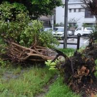 強風で根から倒された公園の立ち木=鹿児島県奄美市名瀬金久町で2020年9月6日午後4時28分、神田和明撮影