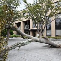県庁の敷地内にある木は、強風により根元から倒れていた