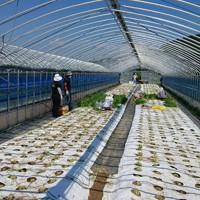 人々の協力で刈り取りがほぼ終わったニラ栽培のビニールハウス