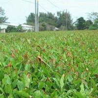塩害で一部が茶色く変色した茶畑=宮崎県川南町川南で2020年9月10日、杣谷健太撮影