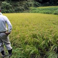 育てたコメから500ベクレルの放射性セシウムが検出され、落胆する農家の男性=福島県二本松市小浜地区で2011年9月24日午後1時39分、小林努撮影