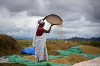 In this June 13, 2018 file photo, an Indian woman separates grain from the husk in a paddy field in Mayong village on the outskirts of Gauhati, India. (AP Photo/Anupam Nath)