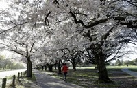 People exercise in the early morning along a spring blossom lined path in Hagley Park, Christchurch, New Zealand, on Sept. 20, 2020. (AP Photo/Mark Baker)