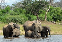 In this March 3, 2013 file photo, elephants are seen in the Chobe National Park in Botswana. (AP Photo/Charmaine Noronha)