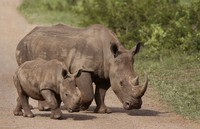 In this Dec. 20, 2015 file photo, rhinos walk in the Hluhluwe Game Reserve in South Africa. (AP Photo/Schalk van Zuydam)