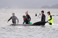 In this Sept. 22, 2020 photo, members of a rescue crew stand with a whale on a sand bar near Strahan, Australia. (Brodie Weeding/Pool Photo via AP)