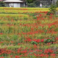 棚田のあぜを彩るヒガンバナ=佐賀県小城市小城町で2020年9月25日、田鍋公也撮影