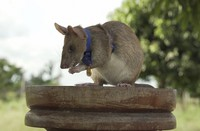 In this photo issued by the People's Dispensary for Sick Animals (PDSA), Cambodian landmine detection rat Magawa is pictured wearing his PDSA Gold Medal, the animal equivalent of the George Cross, in Siem Reap, Cambodia. (PDSA via AP)