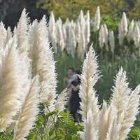 風になびくパンパスグラスの穂=福岡市東区の海の中道海浜公園で2020年9月26日、津村豊和撮影