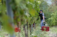 Alexandra Ichim, a 20-year-old Romanian, works during a grape harvest in Rocca de Giorgi, Italy, Thursday, on Sept. 10, 2020. (AP Photo/Antonio Calanni)