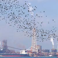 関門海峡を飛ぶヒヨドリの群れ。奥は北九州市=山口県下関市で2020年9月30日、須賀川理撮影