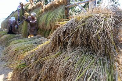 実りの秋を迎え、天日干しにされる稲=福島県二本松市で2011年10月12日午後1時26分、岩下幸一郎撮影