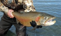 This 2019 file photo provided by the U.S. Fish and Wildlife Service shows a Lahontan cutthroat trout recently caught at Pyramid Lake, 30 miles northeast of Reno, Nev. (Greg Ritland/U.S. Fish and Wildlife Service via AP)