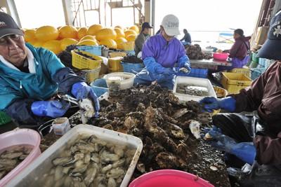津波の被害が残る漁港の建物でカキの殻をむく漁協の組合員=岩手県山田町で2011年10月13日午前7時18分、小関勉撮影