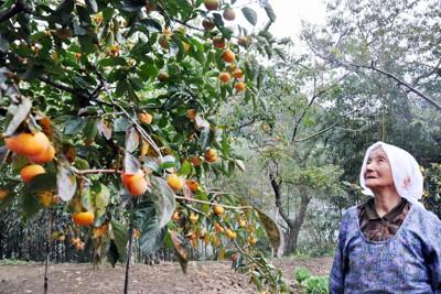 「今年の柿は実の大きさもいいんだが……」。生産自粛でさみしげに語る女性=福島県伊達市梁川町五十沢で2011年10月14日午後、野呂賢治撮影